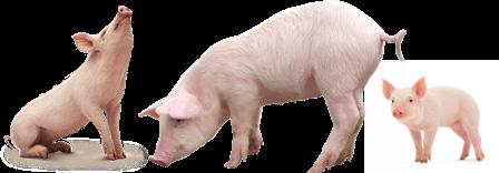 schweine-1